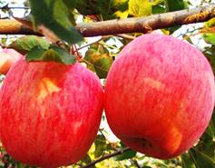 टिहरी में भी लहलहा सकती है फूजी सेब की बागवानी