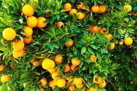 त्रिपुरा सरकार संतरे की खेती के लिए राज्य के किसानों को दे रही आर्थिक मदद