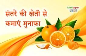 इस तरीके से करे संतरे की खेती, होगा भारी मुनाफा