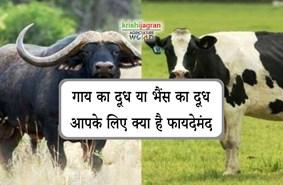 गाय का दूध या भैंस का दूध, जानिये कौन सा है आपके लिए फायदेमंद