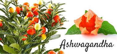 Get the benefits of cultivating Ashwagandha