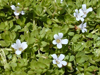 How to cultivate brahmi