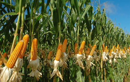 Protecting from the Outbreak of Stem Separation Maize Crop