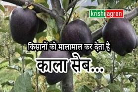 दुर्लभ है काले सेब की खेती, एक की कीमत 500 रूपए..