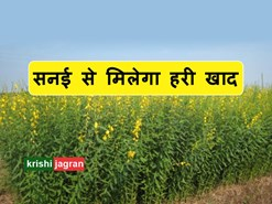 सनई से मिलेगा हरी खाद, ऐसे करें खेत की तैयारी