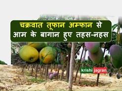 Cyclone Amphan: तहस-नहस हो गए आम के बागान, किसानों के निकले आंसू