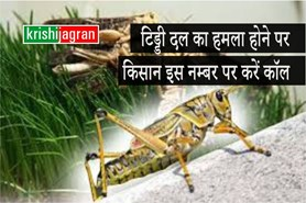 किसानों के काम की बात : टिड्डी कीट का हमला होने पर किसान इस नम्बर पर करें कॉल