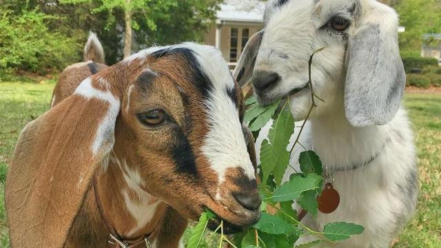 Goat rearing training