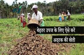 किसानों के लिए लाभदायक है उन्नत किस्म के अदरक की खेती