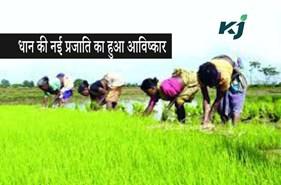 बंगाल में शुरू हो सकती है अधिक प्रोटीन युक्त धान की खेती
