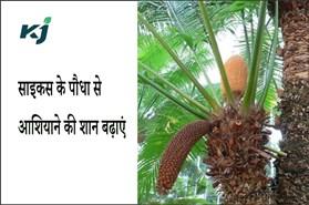 साइकस के पौधा से आशियाने की शान बढ़ाएं