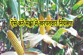 Maize cultivation:  मक्का की खेती से लेना है अधिक पैदावार, तो इस तरह करें फसल में एकीकृत खरपतवार प्रबंधन