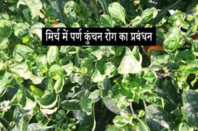 मिर्च में पर्ण कुंचन (chilli Leaf curl virus) रोग का प्रबंधन