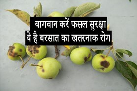 फसल प्रबंधन: बारिश में सेब की पूरी फसल बर्बाद कर सकता है यह खतरनाक रोग, जानें लक्षण और रोकथाम
