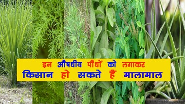 Farmers can be planted by planting these medicinal plants ...