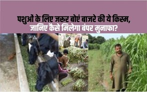 घटती रही हरे चारे की खेती तो होंगे बुरे परिणाम, किसानों के पास क्या है उपाय ?