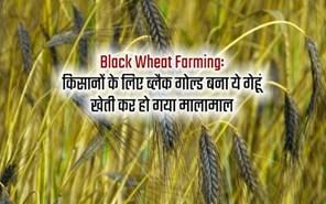 Black Wheat Farming: काले गेहूं की ये किस्म बोएं, चमक जाएगीआपकी किस्मत, जानिए