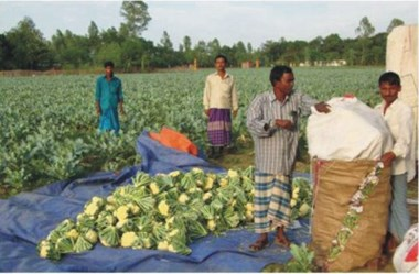 Some villages are cultivating cauliflower only