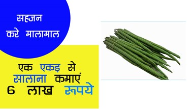 6 lakh rupees annually by earning one acre by cultivating Sahajan ...