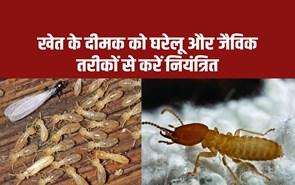 दीमक के फसल के बचाव के लिए अपनाएं समन्वित कीट प्रबंधन विधि