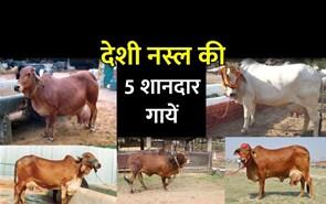 भारतीय नस्ल की ये 5 गायें हैं शानदार, दूध देखकर कहेंगे काश मेरे घर भी होती!