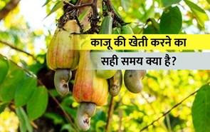 काजू की खेती कैसे करें, आइये जानते हैं पूरी जानकारी