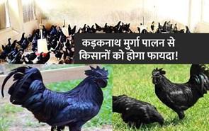 हिमाचल में पहली बार होगा कड़कनाथ मुर्गा पालन, किसानों को होगा फायदा