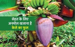सेहत का खजाना है केले का फूल, इन बीमारियों का है रामबाण इलाज