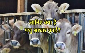 देश में करोड़ों गाय और भैंसों का बना आधार कार्ड, जानिए क्या है पशु आधार कार्ड?