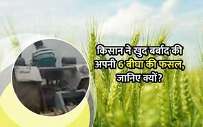 किसान ने 6 बीघे में खड़ी अपनी गेहूं की फसल को किया बर्बाद, कहा- कानून लागू होने से होगा उत्पीड़न तो क्यों उगाएं फसल
