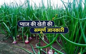 खरीफ प्याज की खेती, किसानों के लिए एक वरदान