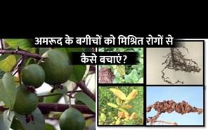 अमरूद के बगीचों में निमेंटोड और विल्ट रोग का प्रबन्धन
