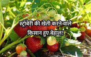 स्ट्रॉबेरी की खेती करने वाले किसान हुए बेहाल, वजह हैरान करने वाला!