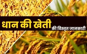 Paddy Farming: धान की खेती करने से पहले एक बार जरूर पढ़ लें!
