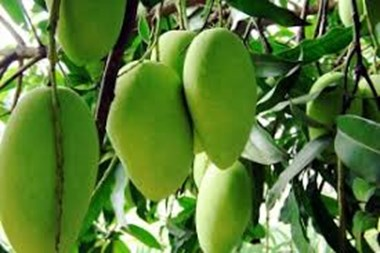How to make a successful production of mango?