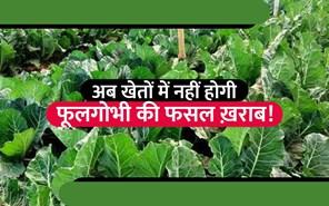 16 टन तक बढ़ जाएगा फूलगोभी का उत्पादन, वैज्ञानिकों ने बताया खेती का सही तरीका