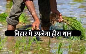 बिहार के किसान उगाएंगे सबौर हीरा धान, एक क्विंटल धान से निकेलगा 65 से 67 किलो खड़ा चावल