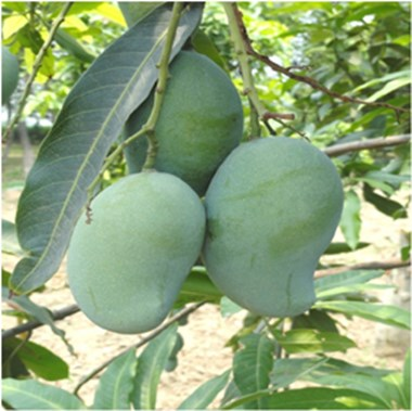 Read this article for advanced horticulture and management of hybrid mango