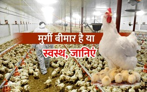 स्वस्थ और अस्वस्थ मुर्गियों की क्या हैं पहचान, जानिएं
