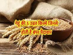 Top 5 Varieties of Wheat:  गेहूं की 5 सबसे नई उन्नत किस्में