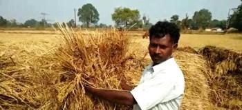 मुश्किल में धान की खेती करने वाले किसान, जानिए कृषि से संबंधित अन्य बड़ी खबरें