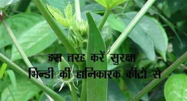 In this way, protect the harmful insects from Bhindi ...