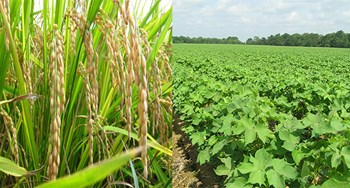 Rice and cotton sowing decrease