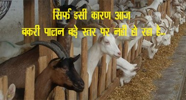 Because of this reason, goat rearing is not happening at large level today ...