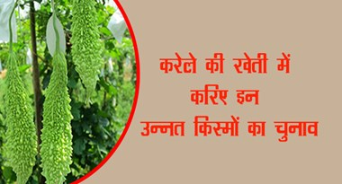 Selection of these advanced varieties in the cultivation of bitter gourd ...