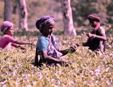 McLeouf will now help Assam's company to increase valuation of tea gardens