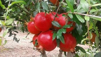 This kind of pomegranate will give farmers more production