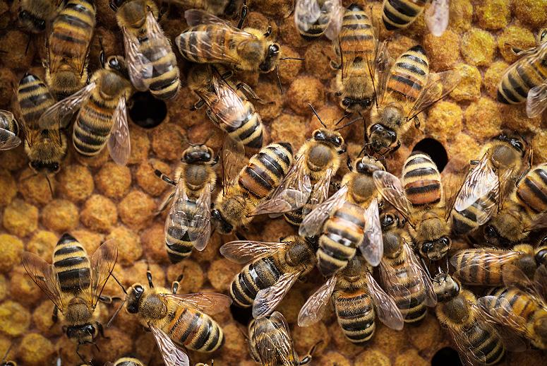 honey bees endangered - 775×518