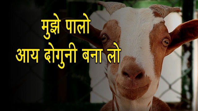 Goat rearing is helpful in doubling the income of farmers, know how?