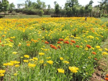 Kashmir farming is getting brighter by the cultivation of flowers